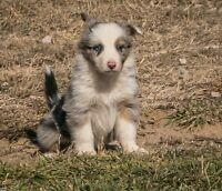 ****Merle Border Collie Puppies****