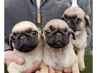 lovely 99% pug puppies