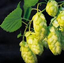 CASCADE GOLDING Hops Rhizomes Home Brewing Herb Medicinal Vine Bendigo Bendigo City Preview