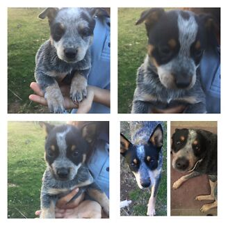 Blue Cattle Dog pups for sale Blue Heelers