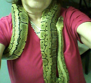 3.5 yr old female (lemonblast-pastel stripe) ball python & Home