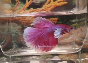 Dumbo Ear/Elephant Ear Betta Fish London Ontario image 9