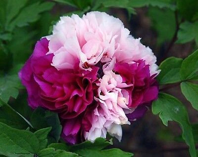 Rare Color Face  Dark Red Light Pink Peony Seedling Plant Seeds Beautiful flower - Dark Red Face