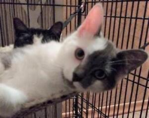 "Young Male Cat - Domestic Short Hair (Gray & White): ""Bam Bam"""