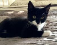 "Baby Male Cat - Domestic Short Hair-black and white: ""Arlo"""