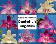 Dendrobium Kingianum