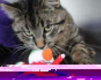 """Young Male Cat - Domestic Short Hair: """"Tiger"""""""