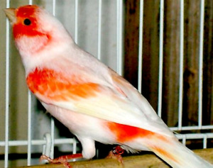 Red mosaic female Canaries FOR SALE!!!