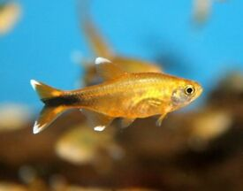Silvertip Tetra for sale
