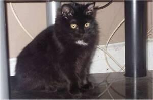 My Adorable Ragdoll x forrest cat kitten 1 big boy left Geelong Geelong City Preview