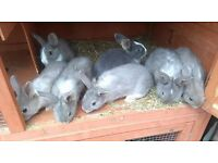 Baby rabbits 8weeks ready to go