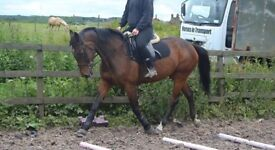 15hh Bay Mare for Sale