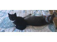 British Shorthair Cross Kitten