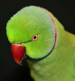 Male Indian ringneck : wanted