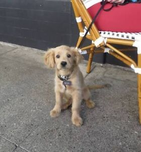 Looking for a Golden retriever cocker spaniel cross Bedford Bayswater Area Preview
