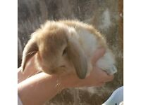 Giant french lop bucks BOTH CURRENTLY RESERVED
