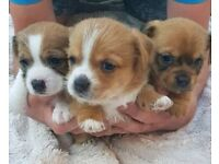 Chihuahua x shorkie 12 week old puppies