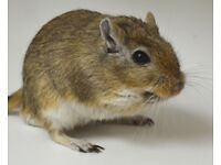 Gerbils for sale 3 males and 4 females