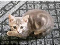 Cute Grey Whiskas Kitten