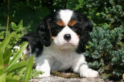 Wanted: Wanting to buy a Tri colour female Cavalier king charles