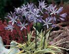 Agapanthus Plant Perennial Flowers & Plants