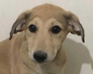 """Baby Female Dog - Labrador Retriever-Saluki: """"TROIS (3)"""""""
