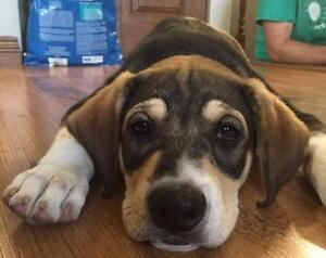 """Young Male Dog - Beagle: """"Gus"""""""