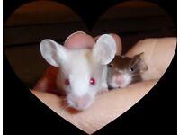 Beautiful Fancy Mice