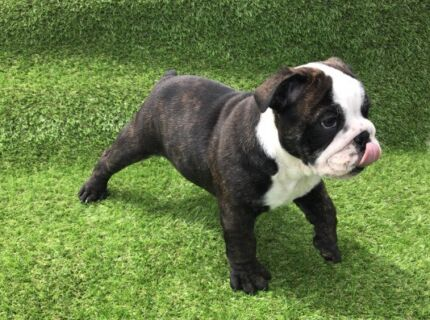 Female British bulldogs available