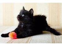 1 male kitten left !!!