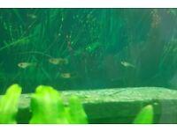 Guppy fry, tropical fish