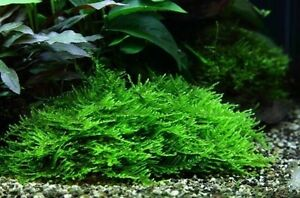 LIMITED Spiky, Flame, Java & Us Fissiden moss Aquarium Perth Perth City Area Preview
