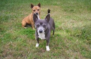 Wanted chihuahua or chihuahua cross Margate Redcliffe Area Preview