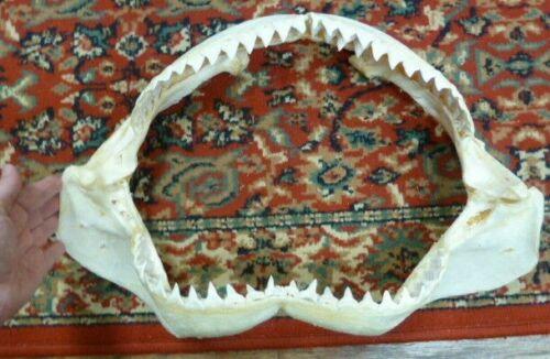 "(sj30-75-1) 19"" BULL SHARK jaw jaws teeth taxidermy ichthyology I love sharks"