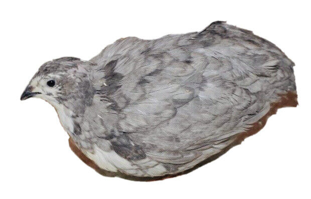 Rare Schofield Silver Collection Quail - 24+ Hatching Eggs FREE SHIPPING!l