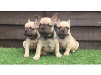 Chocolate fawns French bulldogs puppy's triple carriers all boys