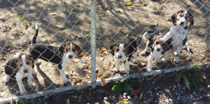BEAGLE PUPPIES for sale!!