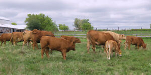 FARM RAISED BEEF London Ontario image 3