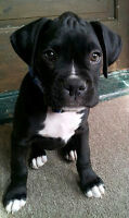 Interested In : Boxer Puppy