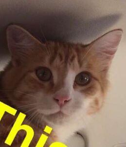 Missing male orange tabby cat Coalhurst
