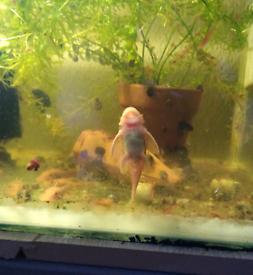 Cherry shrimp and super red plecos