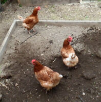 Hyline Laying Hens