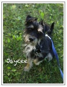 """Young Female Dog - Terrier: """"Jaycee"""""""