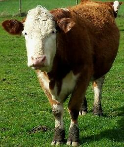 3 year old Hereford / Red Angus Heifer (Born May 25, 2013)