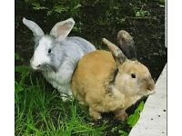 x2 male rabbits