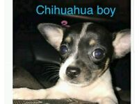 Chihuahua last puppy needs a home