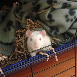 """Baby Male Small & Furry - Rat: """"Charlie"""""""