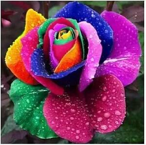 10 x 10 = 100 Seeds Different Beautiful Colour Roses Seeds Blacktown Blacktown Area Preview