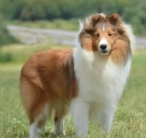 WANTED: Sheltie, any age Loving, experienced home.