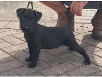 x patterdale terrier puppies